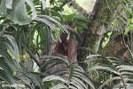 Three-toed sloth [costa_rica_la_selva_0446]