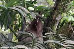Three-toed sloth [costa_rica_la_selva_0447]