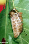 Flannel moth caterpilla (Megalopyge sp)
