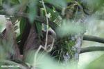 Three-toed sloth [costa_rica_la_selva_0459]
