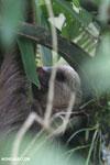 Three-toed sloth [costa_rica_la_selva_0461]