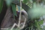 Three-toed sloth [costa_rica_la_selva_0462]