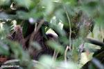 Three-toed sloth [costa_rica_la_selva_0464]