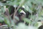 Three-toed sloth [costa_rica_la_selva_0465]