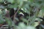 Three-toed sloth [costa_rica_la_selva_0467]