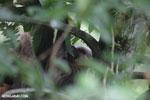 Three-toed sloth [costa_rica_la_selva_0468]