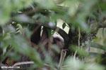 Three-toed sloth [costa_rica_la_selva_0469]