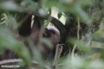 Three-toed sloth [costa_rica_la_selva_0471]