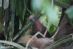 Three-toed sloth [costa_rica_la_selva_0472]