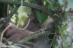 Three-toed sloth [costa_rica_la_selva_0473]