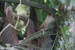 Three-toed sloth [costa_rica_la_selva_0474]