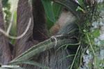 Three-toed sloth [costa_rica_la_selva_0475]