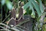Three-toed sloth [costa_rica_la_selva_0476]