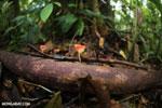 Red cup fungi (Cookeina speciosa) [costa_rica_la_selva_0486]
