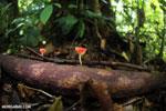 Red cup fungi (Cookeina speciosa) [costa_rica_la_selva_0488]
