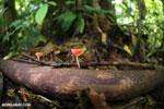 Red cup fungi (Cookeina speciosa) [costa_rica_la_selva_0492]