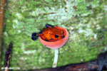 Strawberry dart frog in a red cap mushroom [costa_rica_la_selva_0510]