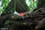 Red cup fungi (Cookeina speciosa) [costa_rica_la_selva_0522]