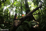 Red cup fungi (Cookeina speciosa) [costa_rica_la_selva_0525]