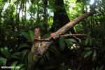 Red cup fungi (Cookeina speciosa) [costa_rica_la_selva_0530]