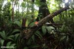 Red cup fungi (Cookeina speciosa) [costa_rica_la_selva_0533]