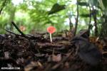 Red cup fungi (Cookeina speciosa) [costa_rica_la_selva_0536]