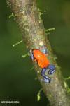 Strawberry dart frog [costa_rica_la_selva_0570]