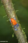Strawberry dart frog [costa_rica_la_selva_0572]