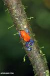 Strawberry dart frog [costa_rica_la_selva_0573]
