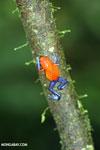 Strawberry dart frog [costa_rica_la_selva_0575]