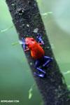 Strawberry dart frog [costa_rica_la_selva_0579]
