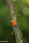 Strawberry dart frog [costa_rica_la_selva_0583]