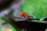Strawberry dart frog [costa_rica_la_selva_0607]