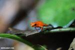 Strawberry dart frog [costa_rica_la_selva_0608]