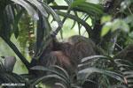 Three-toed sloth [costa_rica_la_selva_0646]