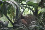 Three-toed sloth [costa_rica_la_selva_0647]
