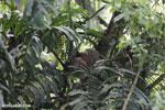 Three-toed sloth [costa_rica_la_selva_0648]