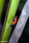 Strawberry dart frog [costa_rica_la_selva_0650]