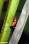 Strawberry dart frog [costa_rica_la_selva_0651]