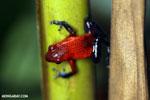 Strawberry dart frog [costa_rica_la_selva_0655]
