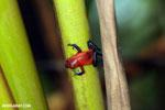 Strawberry dart frog [costa_rica_la_selva_0656]