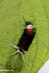 Orange, black, and white caterpillar [costa_rica_la_selva_0669]
