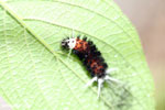 Orange, black, and white caterpillar [costa_rica_la_selva_0670]