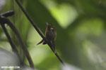 Hummingbird feeding its chick [costa_rica_la_selva_0674]