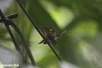 Hummingbird feeding its chick