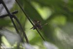 Hummingbird feeding its chick [costa_rica_la_selva_0678]
