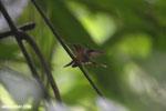 Hummingbird feeding its chick [costa_rica_la_selva_0679]