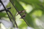 Hummingbird feeding its chick [costa_rica_la_selva_0680]