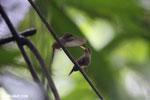 Hummingbird feeding its chick [costa_rica_la_selva_0681]