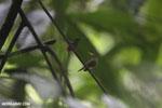 Hummingbird feeding its chick [costa_rica_la_selva_0682]